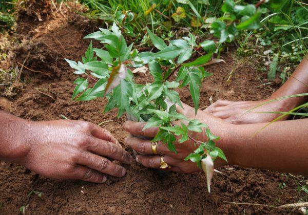 Planting_CloseUp_1YearOldPyrusPashia_HimaMawphlangFarmersClub_April2016_IND_©WeForest